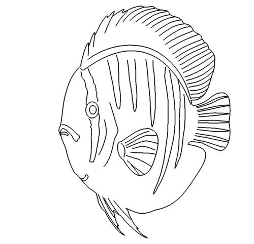Diskus Fisch - discus fish