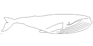 Pottwal - sperm whale