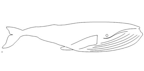 Pottwal - sperm whale