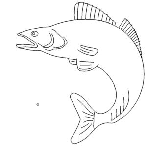Fisch Zander - Fish Walleye