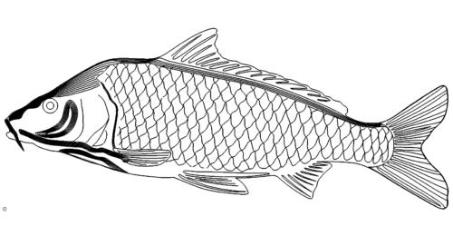 Karpfen - carp