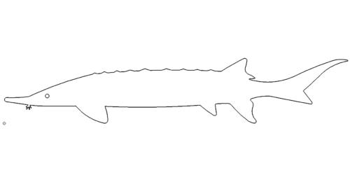Fisch Stoer - fish Stoer