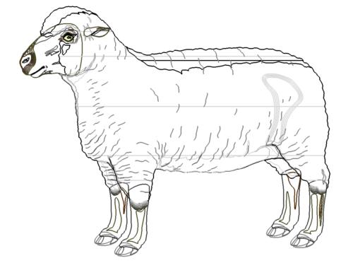 Schaaf - Sheep